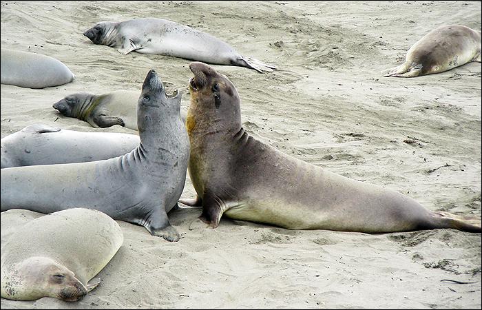 Northern elephant seal...