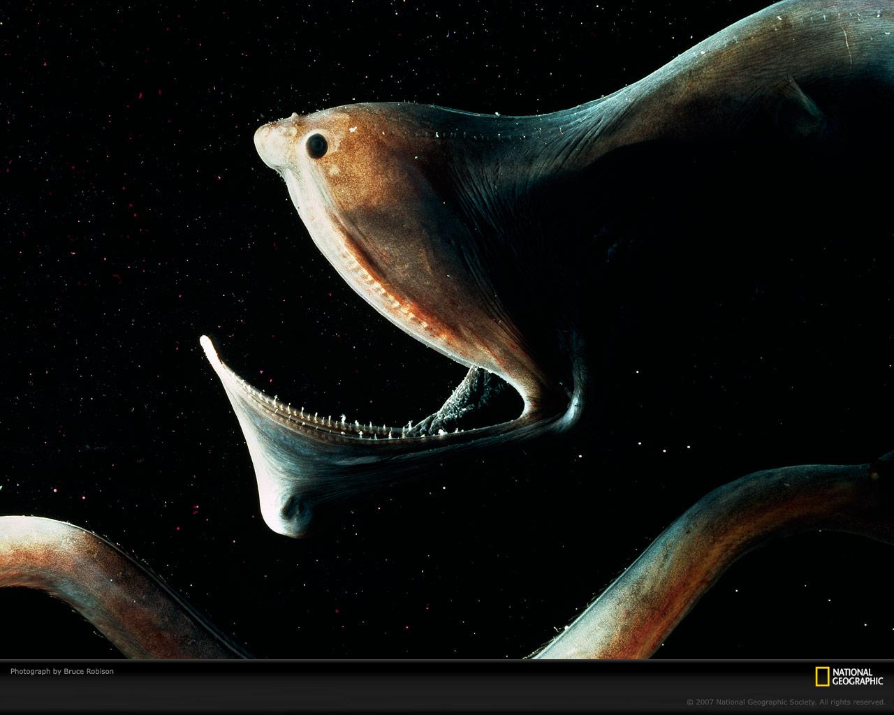 Index of fishesenvironment0imagesoriginal gulper eel sciox Images