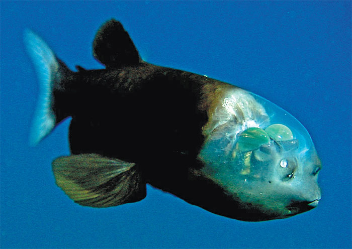 [Image: barreleye.jpg]