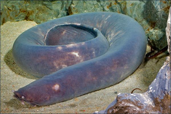 Details of sea lamprey...
