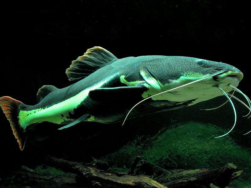 Redtail Catfish Redtail Catfish